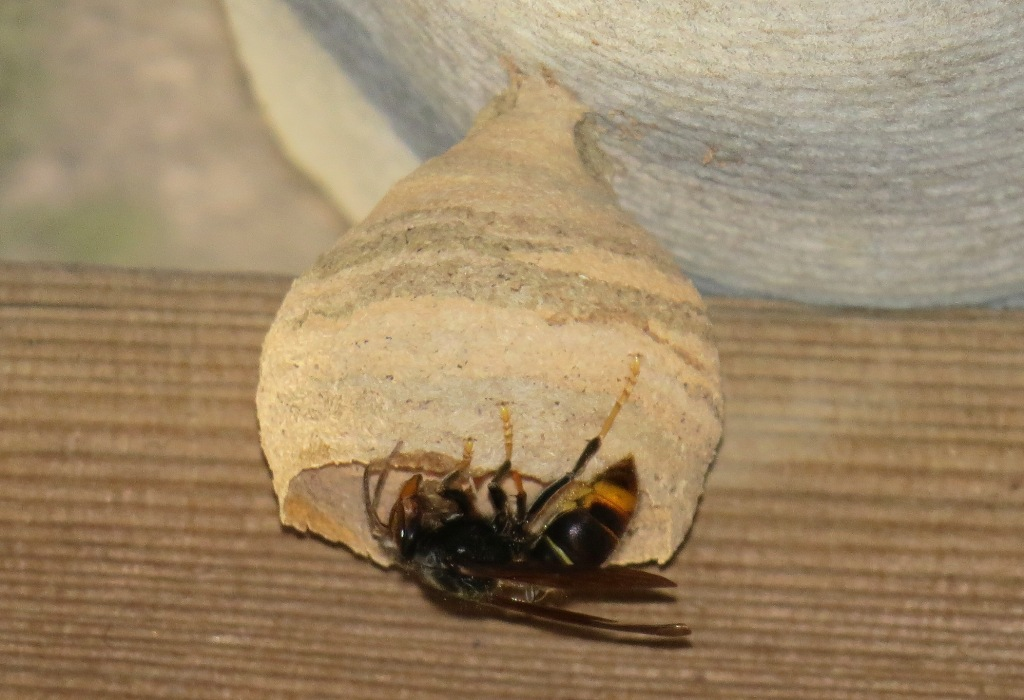primary nest asian hornet
