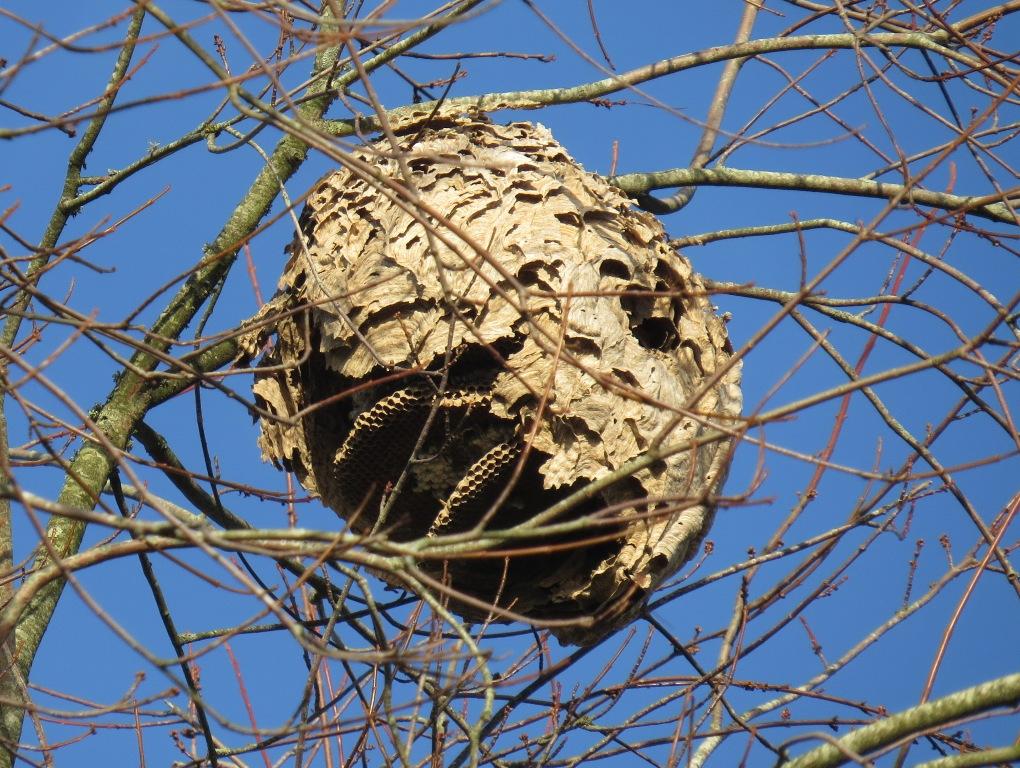mesange sur nid de frelons asiatiques. Black Bedroom Furniture Sets. Home Design Ideas